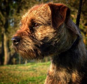 Border terrier Listing Image