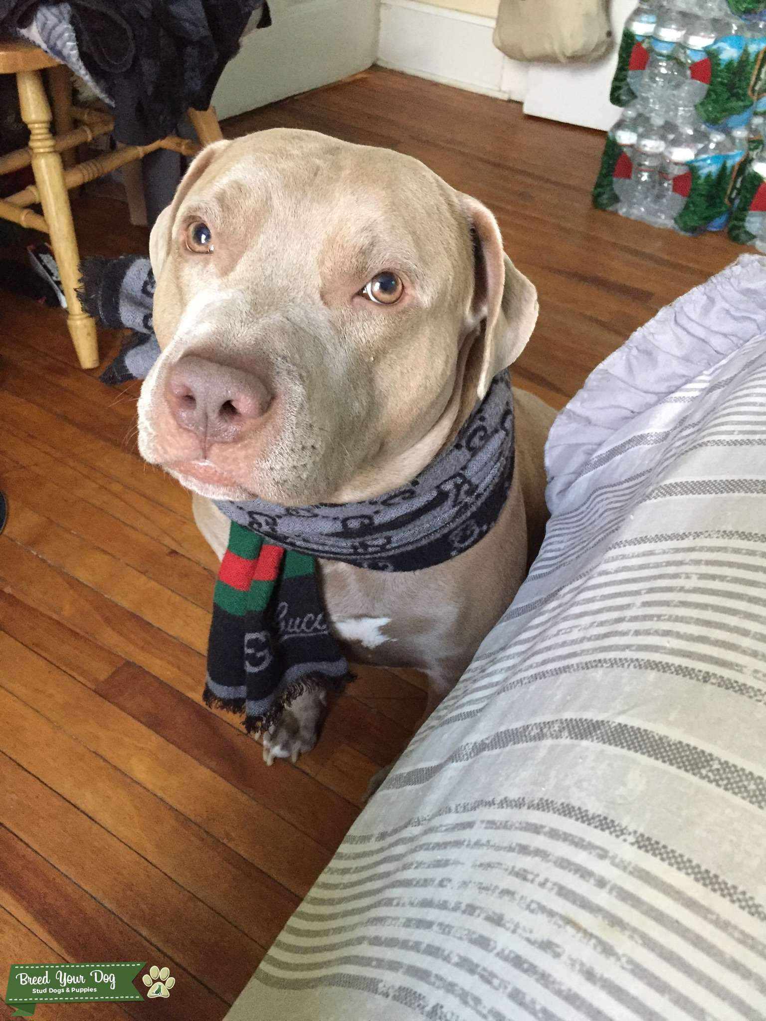 Stud Dog - Fawn lab x American staffy mix looking for a ...