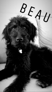Black labradoodle Listing Image Thumbnail