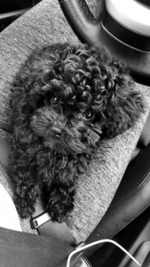 Toy poodle stud Listing Image