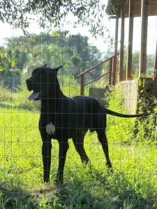 Great Dane Stud Dogs Available Now - Breed Your Dog