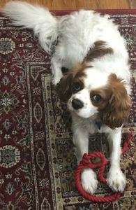 Sweet Cute Cavalier  Listing Image