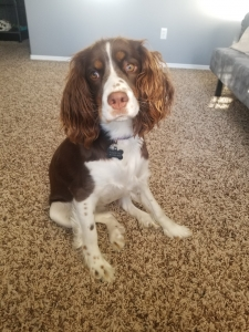 Tri Colored Springer Spaniel  Listing Image