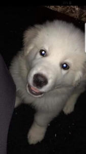 Great Pyrenees  Listing Image