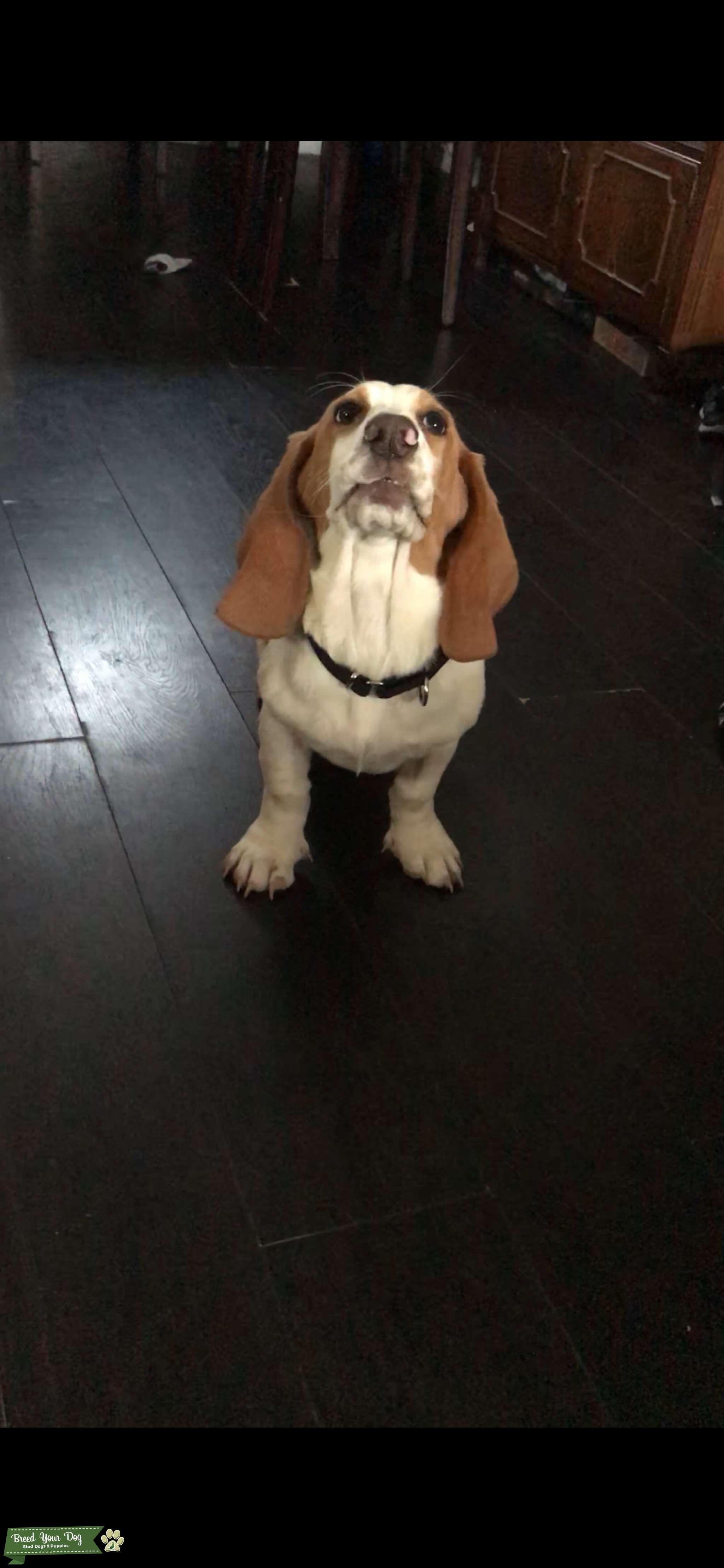 Light brown Basset Hound  Listing Image Big