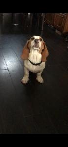 Light brown Basset Hound  Listing Image