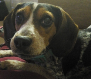 2nd to None Purebred Beagle Listing Image