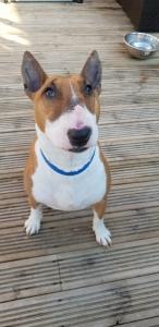 English Bull Terrier Seeks Boyfriend  Listing Image