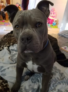 Blue nose pit bull Listing Image