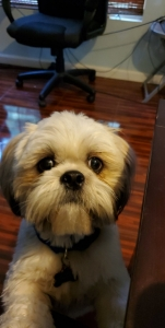 Looking for shih tzu female for stud  Listing Image