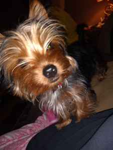 Yorkie  terrier pure Listing Image