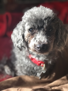 Gray toy poodle  Listing Image