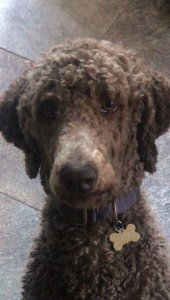 Proven brown chocolate standard poodle  Listing Image