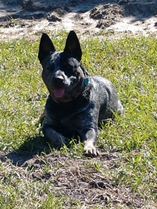 Blue Heeler Male for Stud Listing Image