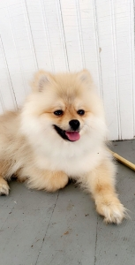 Beautiful extra small male pomsky, eye catching head turning super extremely cute  Listing Image