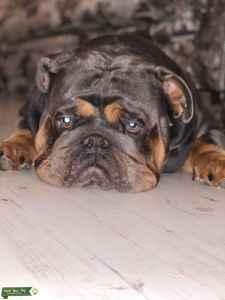 Wonderful & Friendly English Bull Dog Listing Image