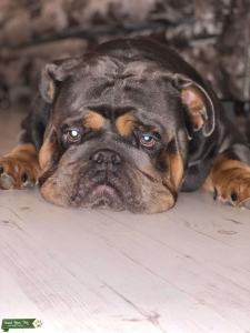 Wonderful & Friendly English Bull Dog Listing Image Thumbnail