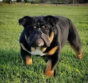AKC Black Tri English Bulldog  Listing Image