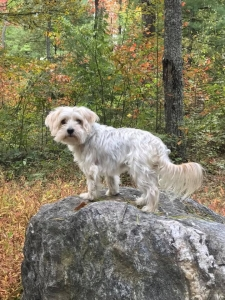 Gorgeous Morkie with Awesome Personality for Stud Listing Image