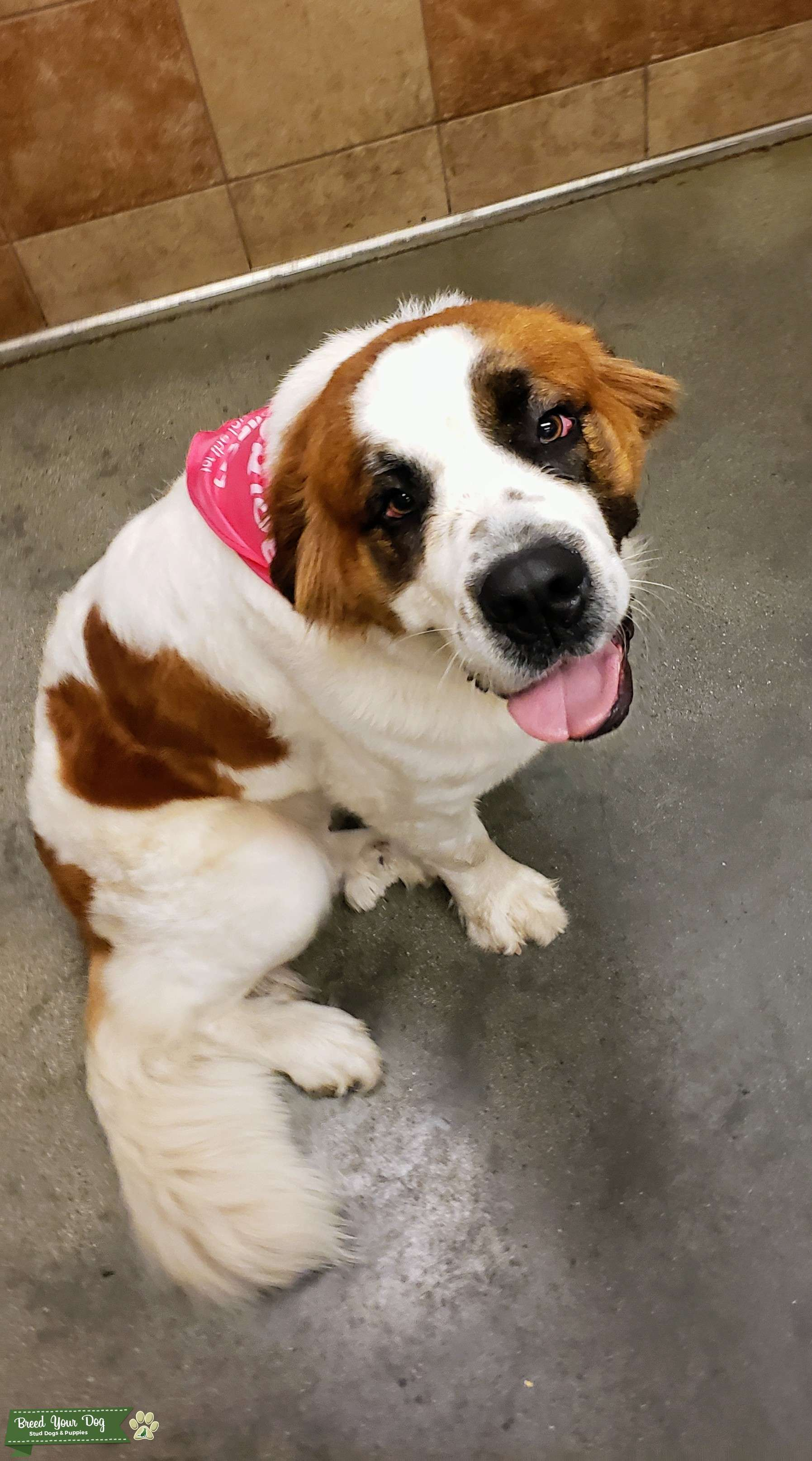2 year old long haired spotted brown 120lb Listing Image Big