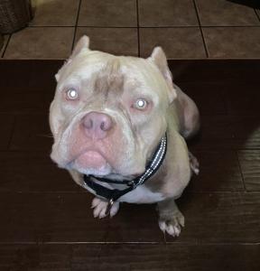 American Pocket Bulldog Listing Image