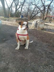Male American Bulldog W/ Paper Listing Image