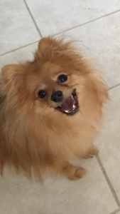 Premium Pomeranian Stud - Sable Colored - makes beautiful puppies  Listing Image