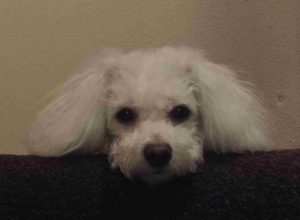Bichon looking for a stud Listing Image