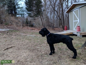 GIant Schnauzer - Soft coat - Healthy stud  Listing Image