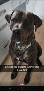 XL Bully Rottweiler  Listing Image