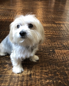 Male Morkie looking to breed  Featured Image