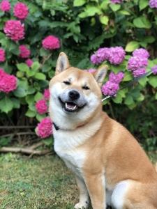 Japanese Shiba Inu stud looking to breed  Listing Image