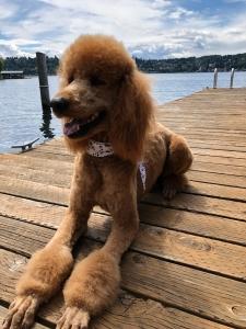 Handsome Stud Poodle Listing Image