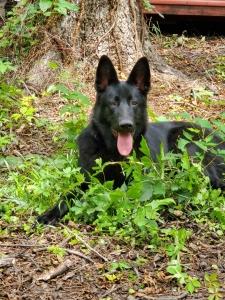 Pure black German Shepherd Listing Image