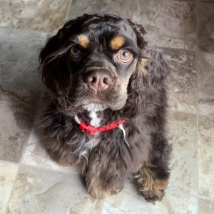 American Cocker Spaniel Stud Dogs Available Now Breed Your Dog