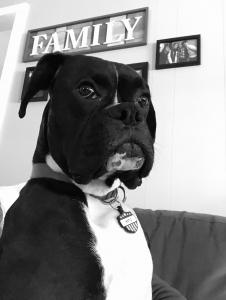 Handsome Tuxedo Boxer Listing Image