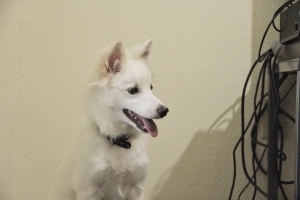 American Eskimo looking for a girlfriend Listing Image Thumbnail