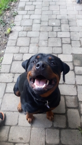 Male Pure German Rottweiler  Listing Image