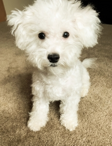 Bichon Frise Stud Dogs Available Now - Breed Your Dog