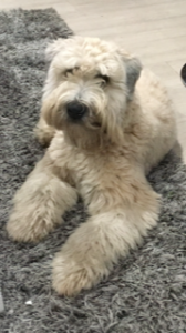 Soft Coated Wheaten Terrier Listing Image