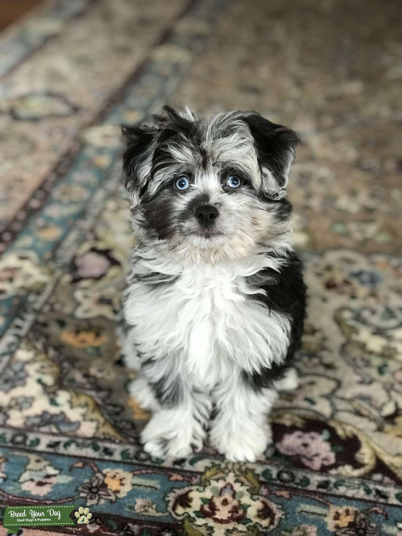 Stud Dog Amazing Mini Aussiedoodle Breed Your Dog