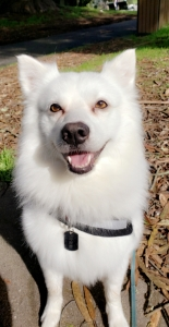 American Eskimo (white fluffy) dog looking for female  Listing Image