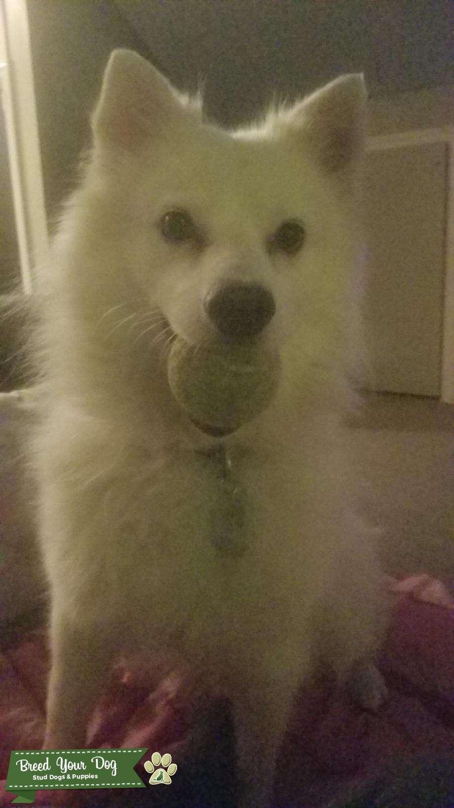 American Eskimo (white fluffy) dog looking for female  Listing Image Big