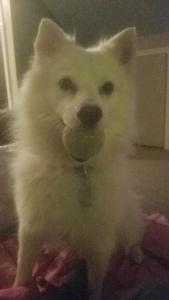 American Eskimo (white fluffy) dog looking for female  Listing Image Thumbnail