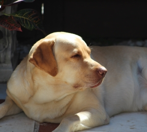 Labrador Retriever Stud Dogs Available Now - Breed Your Dog