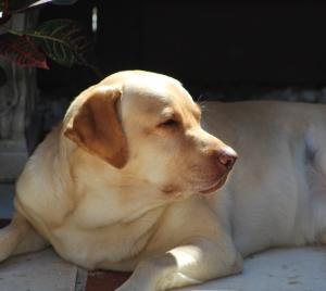 Stud Labrador Listing Image