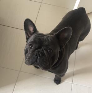 Blue KC registered french bulldog for stud Listing Image