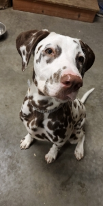 Dalmatian Stud (Liver) Listing Image