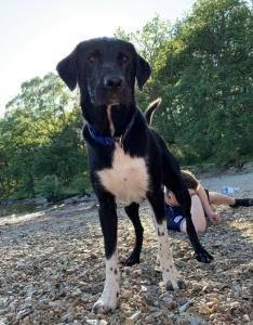 Labrador/Collie for stud  Listing Image