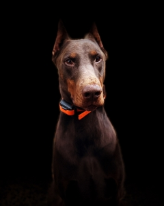 Dobermann Stud Dogs Available Now - Breed Your Dog